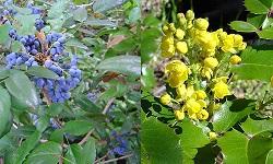 2Mahonia aquifolium500