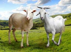 Asociatii acreditate pentru ovine si caprine