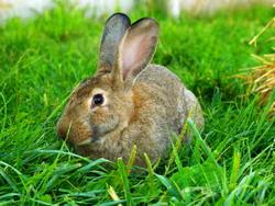 Cecotrofia iepurilor