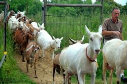 Cresterea si intretinerea caprelor in sistem extensiv pentru micii fermieri si fermieri montani