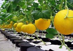 Cultura de pepene galben in solar