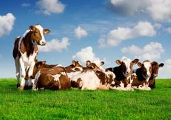 Pasunat vaci - hrana bovine - adaparea vacilor