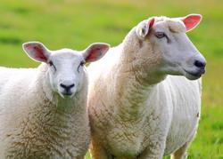 Productia de lapte la ovine