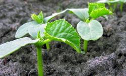 Semanat castraveti de vara - Cultivarea castravetilor
