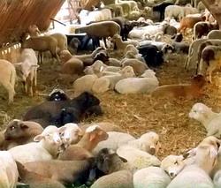 Targul de miei Vurpar 2016 - Expozitie de ovine crescute ecologic