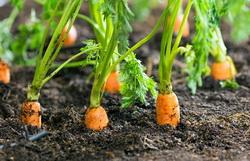 Tehnologia de cultivare de vara morcovi