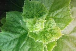 Tratament combatere boli foliare la castraveti si pepeni