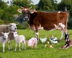 Ferme zootehnice - Supravegherea si prevenirea bolilor transmisibile la animale