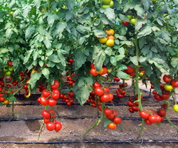 Ingrasaminte pentru cultura intensiva a tomatelor