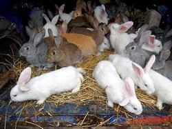 Sistemul semiintensiv gospodaresc de crestere a iepurilor
