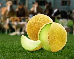 Antioxidanti din pepene galben pentru hrana animalelor