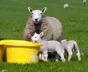 Recomandari pentru perioada fatarilor la ovine
