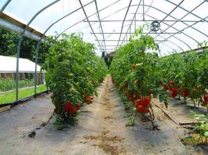 Subventii cultivare tomate in sere si solarii