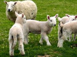 Ingrasarea oilor si mieilor