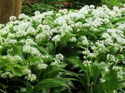 Leurda - Allium ursinum