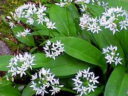 Leurda - Allium ursinum - proprietati si recoltare