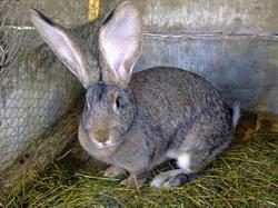 boli rare la iepuri