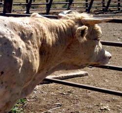 Dermatoza nodulara virala a rumegatoarelor - Reguli pentru fermieri
