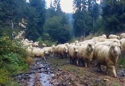 Oi din rase ameliorate pentru zona montana