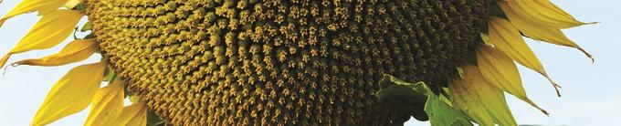 Biocrop - seminte pentru culturi de primavara - floarea soarelui
