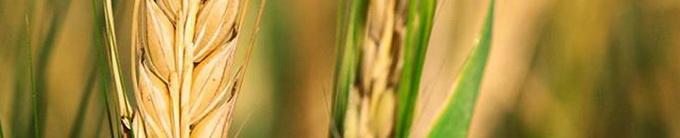 Biocrop - seminte pentru culturi de primavara - orzoaica
