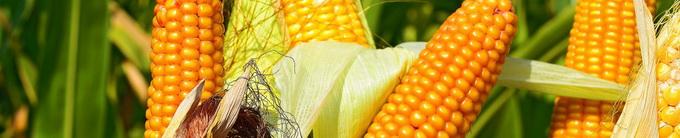Biocrop - seminte pentru culturi de primavara - porumb
