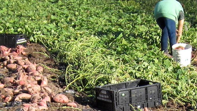 Cartofii dulci -recoltat cartofi dulci