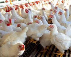 Celulita sau procesul infectios la puii de carne
