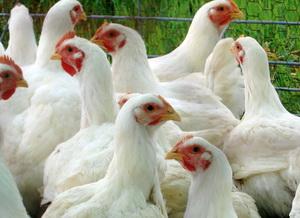 Masuri suplimentare ANSVSA privind gripa aviara din Uniunea Europeana