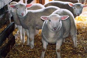 Rase de ovine romanesti - Linia de carne Palas