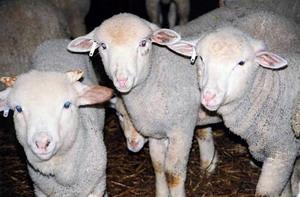 Rase de ovine romanesti - Rasa de oi Merinos de Palas