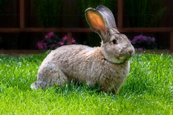 Reproductia la iepure