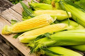 Semintele de porumb Biocrop - Hibrizi de porumb specializati pentru recolte profitabile si sigure
