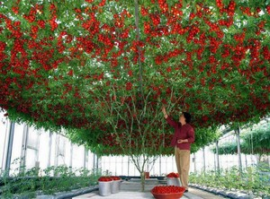 Tomatele - copacul de tomate