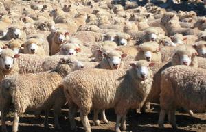 Ovine - Productia de carne de oaie