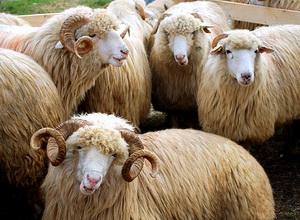 Ovine - Rasa de oi Turcana