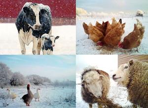 Prevenirea imbolnavirilor la animale si pasari in perioada de iarna