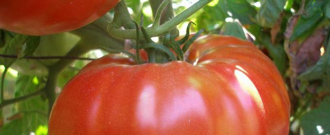 Cultura de tomate in camp si in spatii protejate - 1