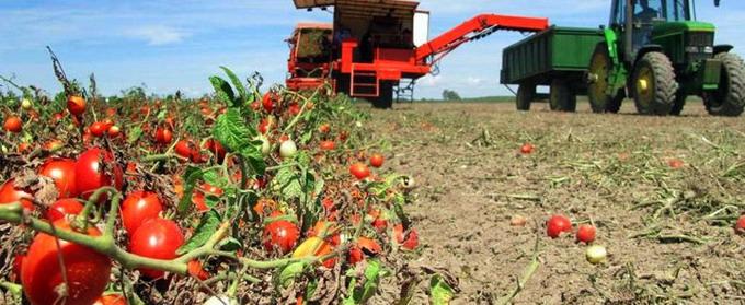 Cultura de tomate in camp si in spatii protejate - 2