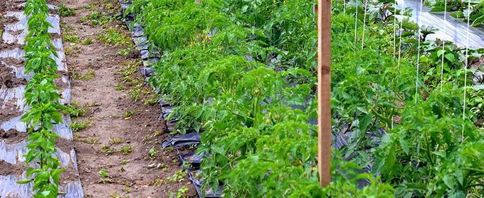Cultura de tomate in camp si in spatii protejate - 4