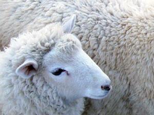 Rase de ovine pentru productia de lana