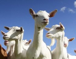 Donatie de capre World Vision