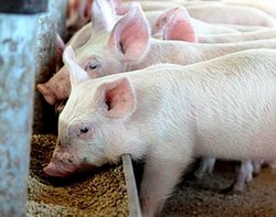 Exces de proteine la pasari porcine bovine