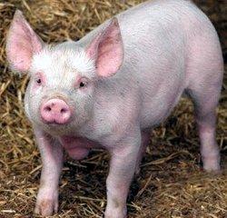 Exces de proteine la porcine