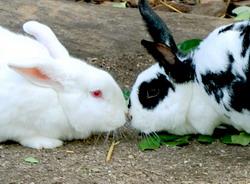 Infecunditatea iepurilor