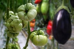 boli si daunatori la solanacee - tomate ardei vinete