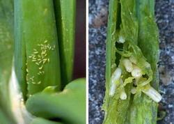 Combatere tripisul si musca cepei si usturoiului