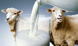 producere valorificare lapte de oaie