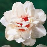 Bulbi de toamna narcise flower drift