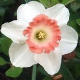 Bulbi de toamna narcise pink charm